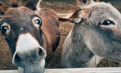 Randonnée avec des ânes dans la Vanoise